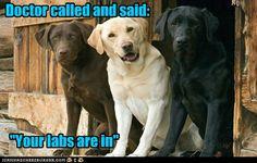 """Labrador Retriever """"Laughs"""""""