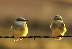 Wetern King Birds on barbed wire fence
