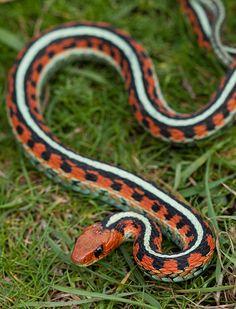 California Red-Sided Garter Snake