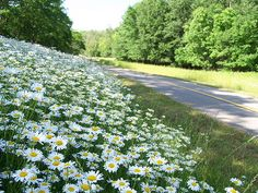 Bike Trail Daisies
