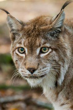 ~~Lynx by Hermen van Laar~~