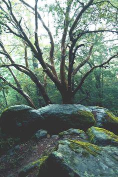 Mystical Forest, Santa Cruz Mountains, California photo via herghosts Tree, Rock, Forest