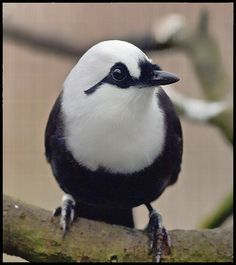 Black & White Laughing Thrush