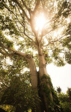 Massive dino trees found on Isla Ometepe, Nicaragua.
