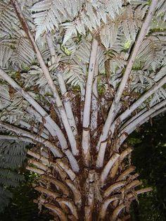 tree fern, silver fern