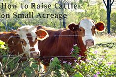 How to Raise Cattle on Small Acreage  http://www.fromscratchmag.com/raise-cattle-small-acreage/?utm_source=rss_medium=rss_campaign=raise-cattle-small-acreage
