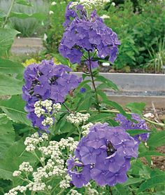 Phlox, Blue Paradise  lifecycle: Perennial     Zone: 4-9     Sun: Full Sun, Part Sun     Height: 36-40  inches    Spread: 24-30  inches    Uses: Beds, Borders, Cut Flowers     Bloom Season: Fall, Summer