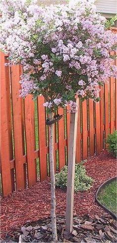 Dwarf scented Korean Lilac Standard - Syringa meyeri 'Palibin'