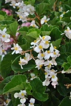 Begonia Baby Wing - white