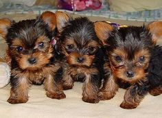 yorkie puppies -- so cute.