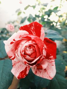 pink roses, rose red, red flowers, painted flowers, red roses, garden
