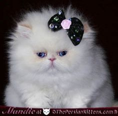 Persian kittens. I want one so bad!!! :D