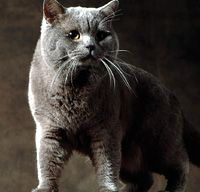 The British Shorthair Cat's Personality