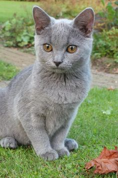 Chartreux cat..love the eyes!