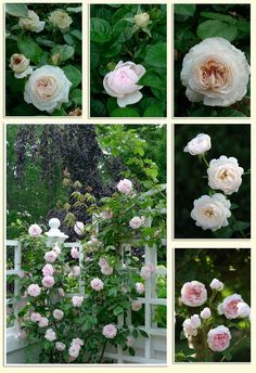 A Rose is A Rose is A Rose..._3