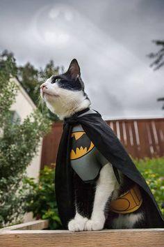 Batcat!