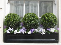 Boxwoods in a window box