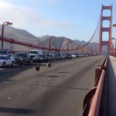 Like a lot of other people, the deer hit the bridge just before 5:30 p.m. Two Deer Trotted Across The Golden Gate Bridge Friday And It Was Magical. 5-5-14