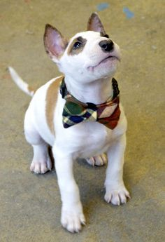 Marv the Miniature Bull Terrier-So handsome with his little bowtie...such a dapper gentleman!
