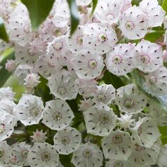 Mountain Laurel has showy pink or white flowers and typically grows as a dense, rounded shrub and prefers well-drained, acidic soil.