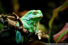 Waxy Monkey Frog. Macro HDR Photography by Gene Phillips.