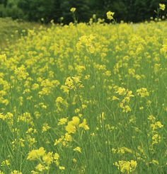 Mighty Mustard Pacific Gold Plant as cover crop to help tomatoes the following season.