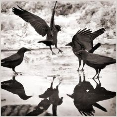 Photography by Larry Blackwood, from his 'Opus Corvus' series