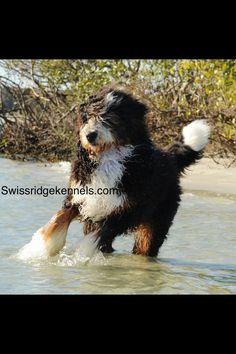 Bernedoodle from Swissridge kennels. poodl mix, fourth child, famili member, swissridg kennel