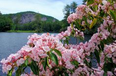 Mountain laurel along a lake in the North Carolina mountains near Cashiers at High Hampton Inn