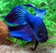 Beta fish, also known as Siamese Fighting Fish.