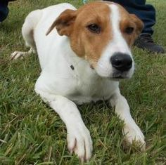 #SCAROLINA ~ Melissa is an #adoptable #Hound #Dog in #Dillon. She's soooo SAD ~ a beautiful cream & fawn colored gal but nobody seems to know she's here & wants a home with ppl to love & love her. Visit & #adopt this sweetie at Dillon County Animal Shelter  1020 Old Latta Highway  Dillon, SC 29536    P 843.841-8884 Email mailto:dilloncoun...