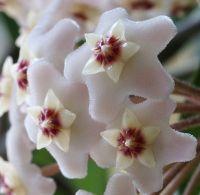 wax plant, hoya plant, hoya carnosa