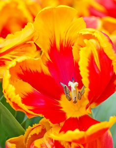 Red and Yellow Tulip by Mike Oberg, via 500px
