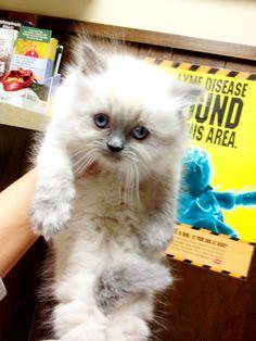 Himalayan Kitten! Adorbs!