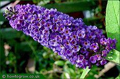 Buddleia (love this color) garden plant, color