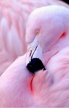 Pretty Flamingo pinkflamingo, bird, pink flamingos, color, pink flamingoes