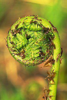 Alaska ~~  Fiddle Head Fern. Food delicacy frequently served at an Alaskan potluck. (Unrolling fiddle-head fern.)