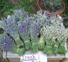 Cape Cod Lavender Farm is located on twelve secluded acres overlooking Island Pond in Harwich on Cape Cod. It is one of the largest lavender farms on the East Coast and boasts over 14,000 plants. The farm, owned by Cynthia and Matthew Sutphin, is also the home of their family.
