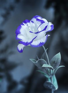 ~~Lisianthus by Enzo Davide~~