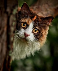 forests, anim, cat eyes, dream, maine coon cats