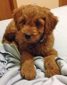 Java the Goldendoodle puppy - what a cutie!