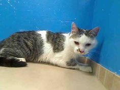 URGENT! 2 year old BLANKET needs out of NYCACC NOW!!! ON THE WED. 6/5/13 NYCACC EUTHANASIA LIST! Brooklyn Center  My name is BLANKET. My Animal ID # is A0966862. I am a male gray tiger and white domestic sh mix. The shelter thinks I am about 2 YEARS old.  I came in the shelter as a STRAY on 05/30/2013 from NY 11233, owner surrender reason stated was STRAY.