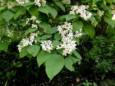 Catalpa : deciduous tree, white flowers, easy to propagate