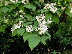 Catalpa : deciduous tree, white flowers, easy to propagate