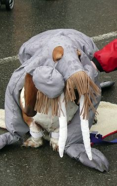 A basset dressed as a walrus!!