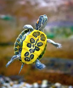 beautiful turtle with yellow belly #turtle