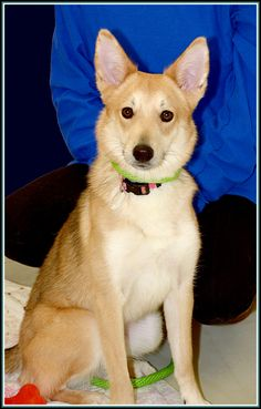 NO LONGER LISTED - Zelda (See video) is an #adoptable Husky at  Frederick County Animal Control in #Frederick, #Maryland --- Hello my name is Zelda!  I am 10-12 months old, I weigh 31.1lbs, and I'm a lovely girl, but I'm shy.  So please be patient with me until I warm up to you.You might see me pacing in my cage.  That is because I'm nervous about being in here - it is...