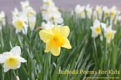 Daffodil Poems for Kids from www.montessorimischief.com