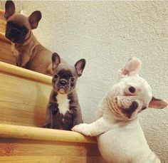 Frenchies! frenchi pup, furri friend, ador animals3, french bulldogs, bulldog puppies, cutest babies, pet, baby dogs, ador puppi