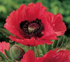 Papaver orientale Watermelon - White Flower Farm